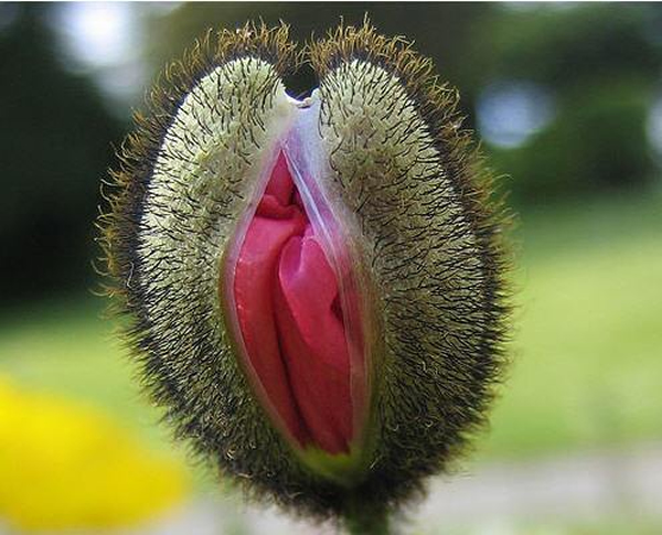 vagina flower that look exactly look like female vagina